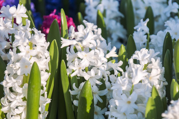 Hyacinthus - is a small genus of bulbous, fragrant flowering plants in the family Asparagaceae.