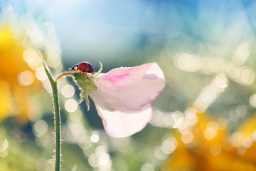 Small Red Ladybug loves the smell of flowers in the morning sun .