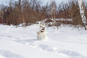 Happy beautiful purebred dog Japanese Akita Inu with his tongue sticking out runs through snowdrifts in winter in a field among trees on the sky background.