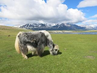 Mongolia - traditional shepherd lifestyle and landscape in west Mongolia near Kazakhstan boarder line