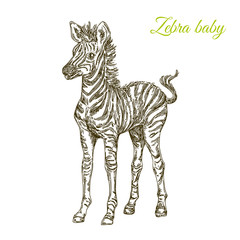 Baby animals. Wild. Zebra. Vintage style. Vector illustration.