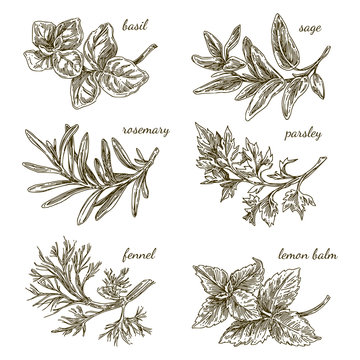 Set of herbs for kitchen. Basil, sage, rosemary, parsley, fennel, lemon balm. Engraving style. Vector illustration.