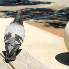 pigeon on the table