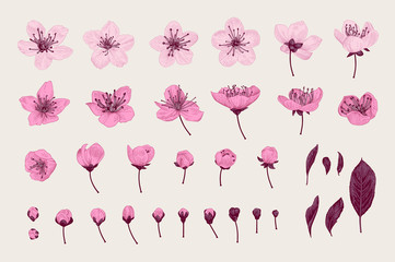 Wall Mural - Set. Pink Cherry Flowers, Leaves and buds. Vector botanical illustration