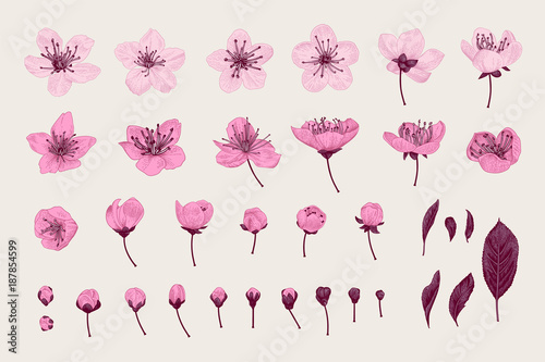 Wall mural Set. Pink Cherry Flowers, Leaves and buds. Vector botanical illustration