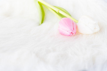 Sweet soft background , pink and white tulip flower on whte fur