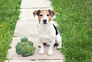 Jack russell Terrier Dog sitting with broccoli outdoor and looking at camera