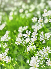 Flowers stellaria holostea (starwort, stitchwort, chickweed) in sun light, blooming in spring in forest