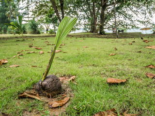 Poster Jaune Coconut fallen on ground is starting to grow a new palm tree. Growing a plant near the beach in Thailand.