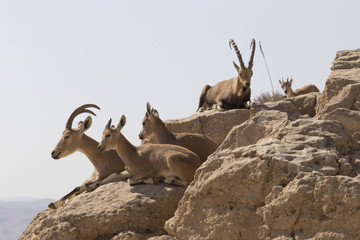 Several mountain goats with big horns and goats without horns rest on the rocks over the precipice in the Judean mountains