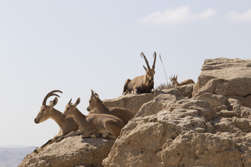 A herd of mountain goats rest on the stones above the abyss in the Judean mountains on a blurred background of the sky
