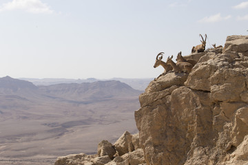 Several mountain goats with big horns and goats without horns rest on the stones above the abyss in the Judean mountains against the background of  the desert