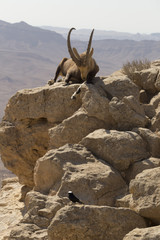 A small black bird and a huge mountain goat rest on the rocks above the abyss in the Judean mountains against the background of the sky and the desert