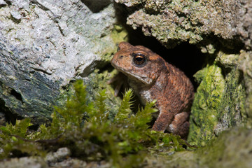 Common Toad (Bufo bufo)/Tiny Juvenile Toad hidden in the crevice of a stone wall