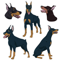 Doberman Pinscher set isolated on white background. Watchdog hand drawn illustration. Dobermann in different poses.