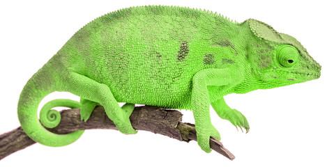 caméléon vert, fond blanc