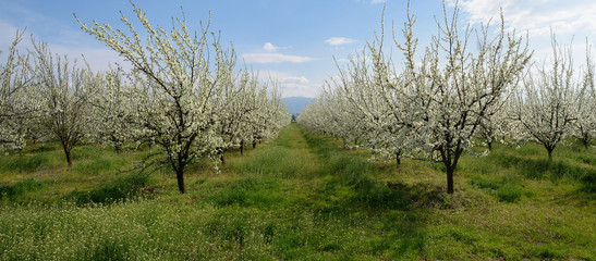 Orchard with cherries blossoming in spring