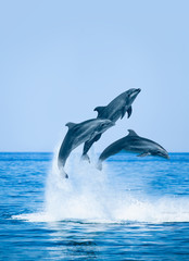 Photo sur Plexiglas Dauphin Group of jumping dolphins, beautiful seascape and blue sky