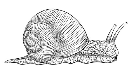 Weinbergschnecke - Vektor-Illustration