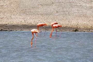 Flamingo in der Karibik (Niederländische Antillen/Curacao)