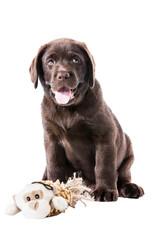 Brauner Labrador Retriever Welpe sitzt mit Kuscheltiert und guckt zum Betrachter mit offenen Maul und Zunge