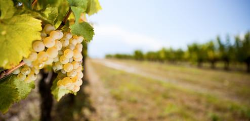 Raisin dans les vignes en Anjou