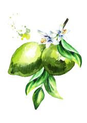 Fresh green lime branch isolated on white background. Watercolor hand drawn illustration