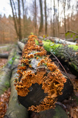 Orange Trametes Fungus Detail on a Dead Tree Trunk