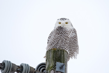 Wall Mural - Snowy Owl Sitting on a Utility Post