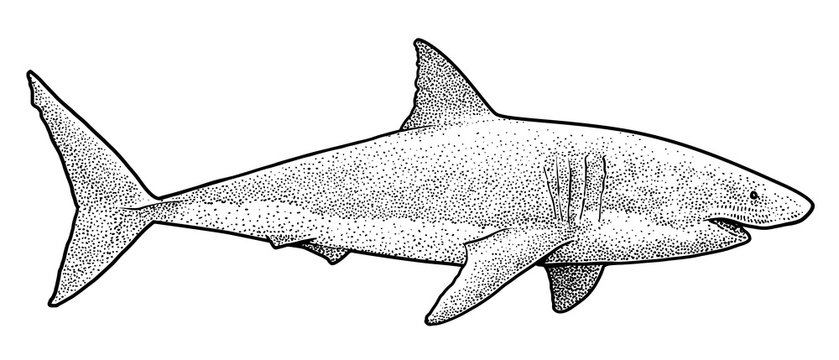 Great white shark illustration, drawing, engraving, ink, line art, 