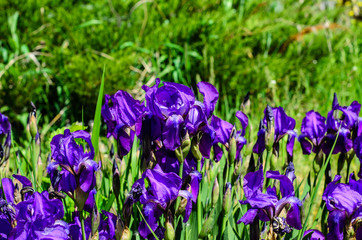 Irises on a meadow on spring
