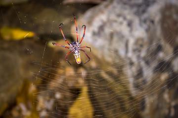 Yellow and orange female Golden orb-web spider (Nephila spp.) sitting on a web, Nosy Komba, Madagascar