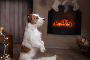Jack Russell Terrier and Christmas