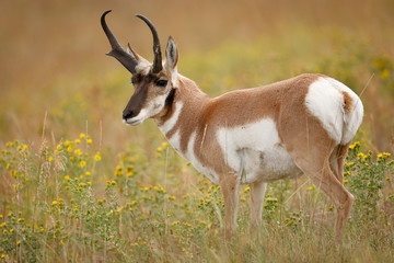 Papiers peints Antilope Pronghorn