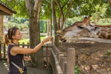 Young beautiful woman feeding a giraffe at the zoo.