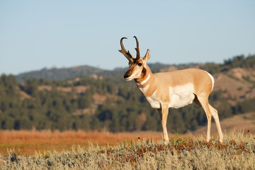 Photo sur Plexiglas Antilope Pronghorn Antelope