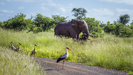 White Stork and African bush elephant in Kruger National park, South Africa