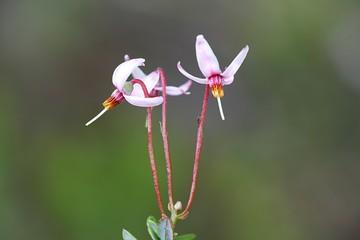 Cranberry flowers, Vaccinium oxycoccos