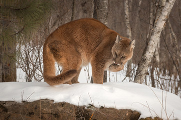 Adult Female Cougar (Puma concolor) on Rock Licks Paw