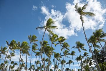 Palm trees at Punta Cana beach. Dominican Republic.