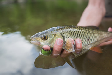 nice chub caught on a bite is going to be released