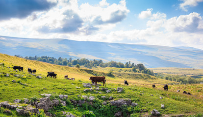 Group of cows graze in green meadow in sunny summer day, livestock farmland in mountain landscape