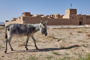 Donkey grazes near the ruins of an ancient fortress, Iran.