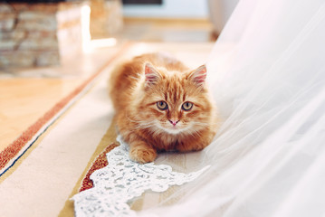 Domestic fluffy red cat sitting near white wedding dress indoor.