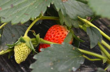 Fresh strawberries that are grown organic farm