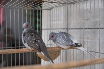 Casal de pomba diamante presa em gaiola