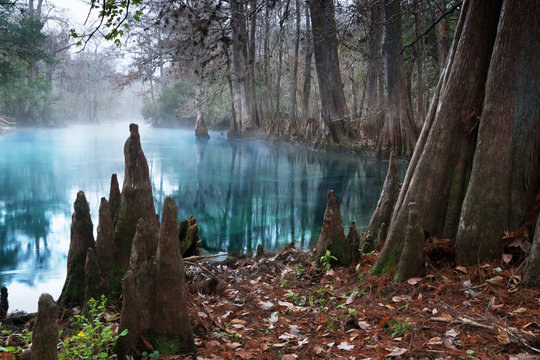 The roots of bald cypress trees and clear water in the  Manatee Springs State Park, Florida, USA