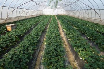 Strawberries growing in lines