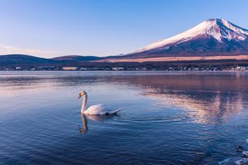 Swan in lake yamanaka with Mt.Fuji background