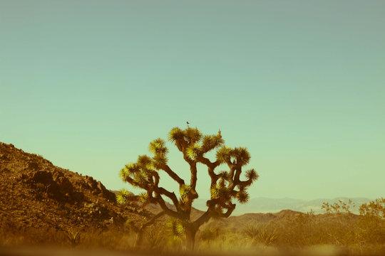 Single Joshua tree in desert against blue sky